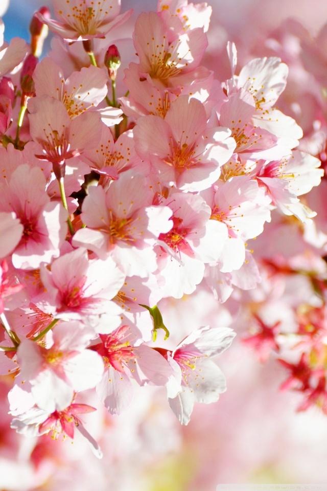 Sakura Wallpaper 4K : Wallpaper Flower Close Up Pink ...