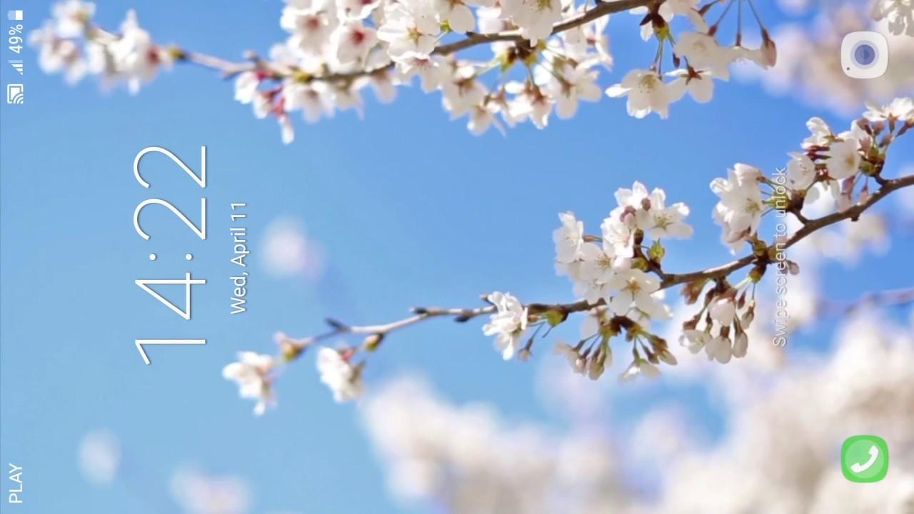 Live Wallpaper Cherry Blossoms Live - 1280x720 Wallpaper ...