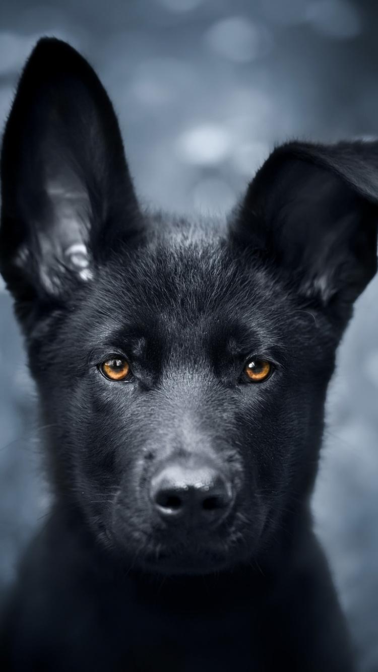 Pet Black Puppy German Shepherd Wallpaper Black German Shepherd Background 750x1334 Wallpaper Teahub Io
