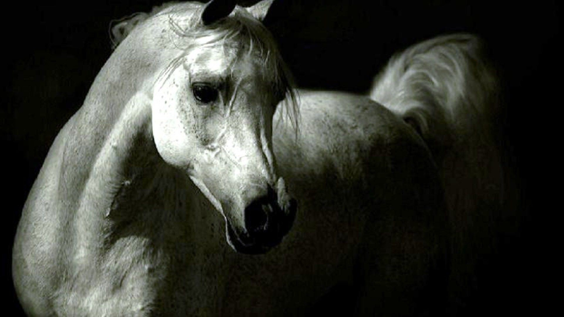 1920x1080 White Arabian Horse Photo White Arabian Arabian Horse Wallpaper Hd 1920x1080 Wallpaper Teahub Io