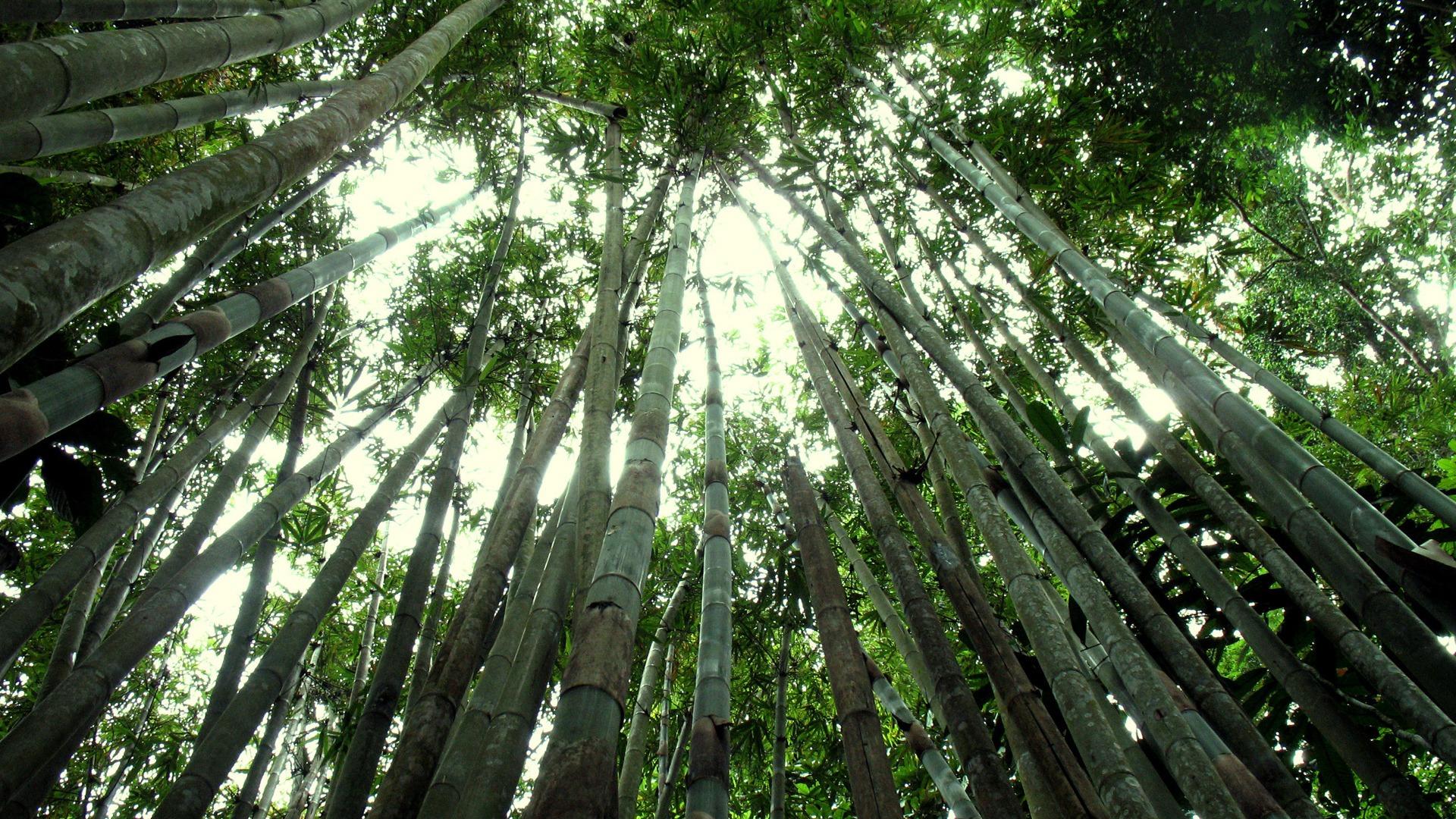 Bamboo Forest - HD Wallpaper