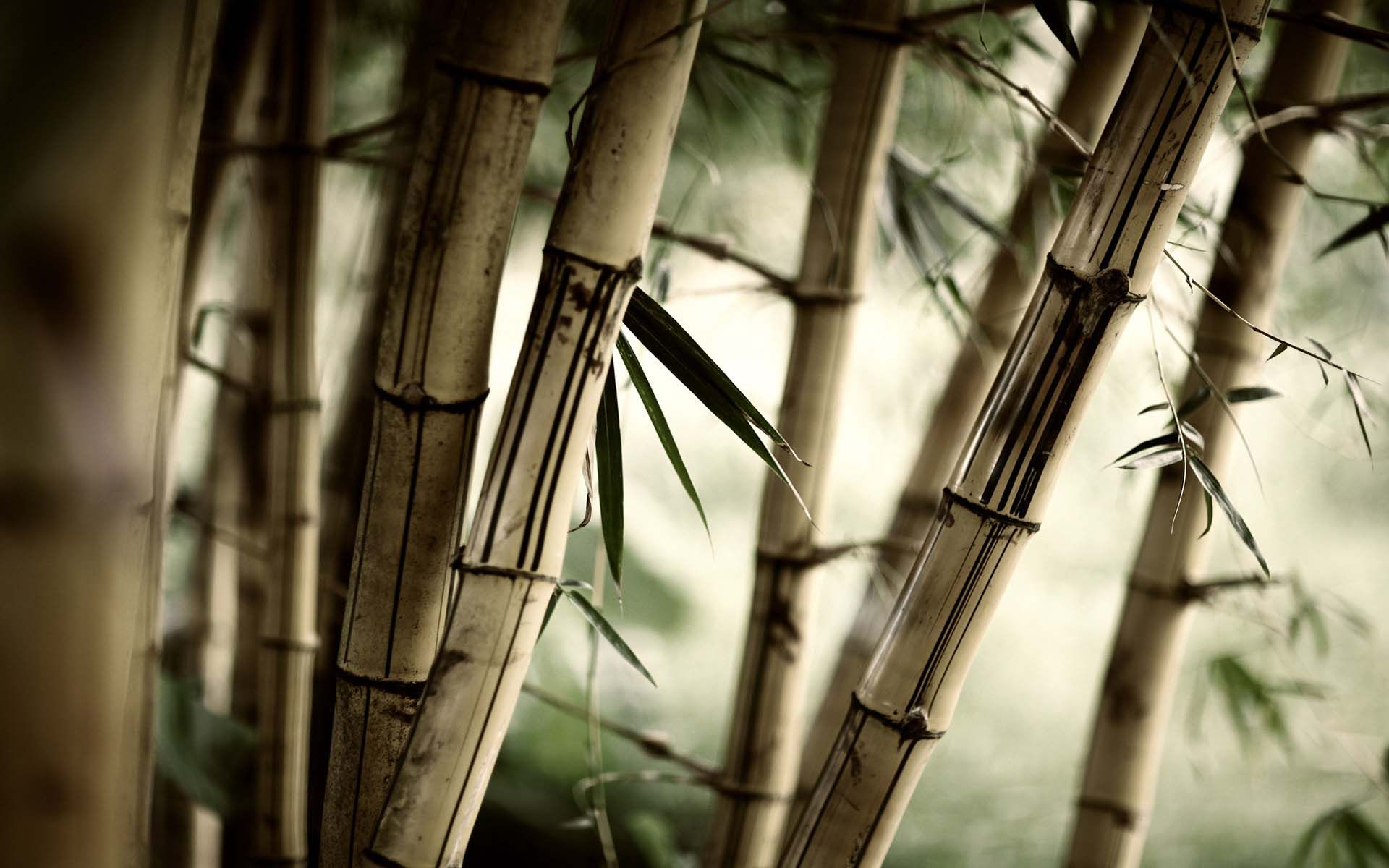Bamboo Tree Closeup Wallpaper - Old Bamboo - HD Wallpaper