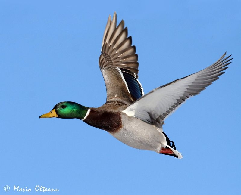 Plain Duck Flying For Drawing Duck Drawing, Bird Pictures - Duck Flying - HD Wallpaper