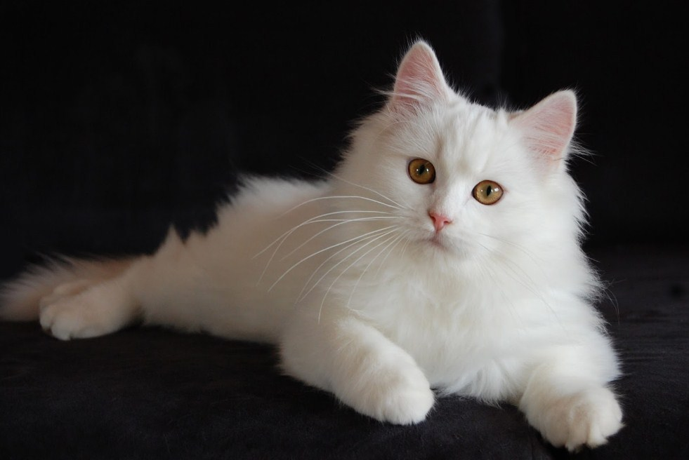Wallpaper Kucing White Persian Cat With Brown Eyes 981x656 Wallpaper Teahub Io
