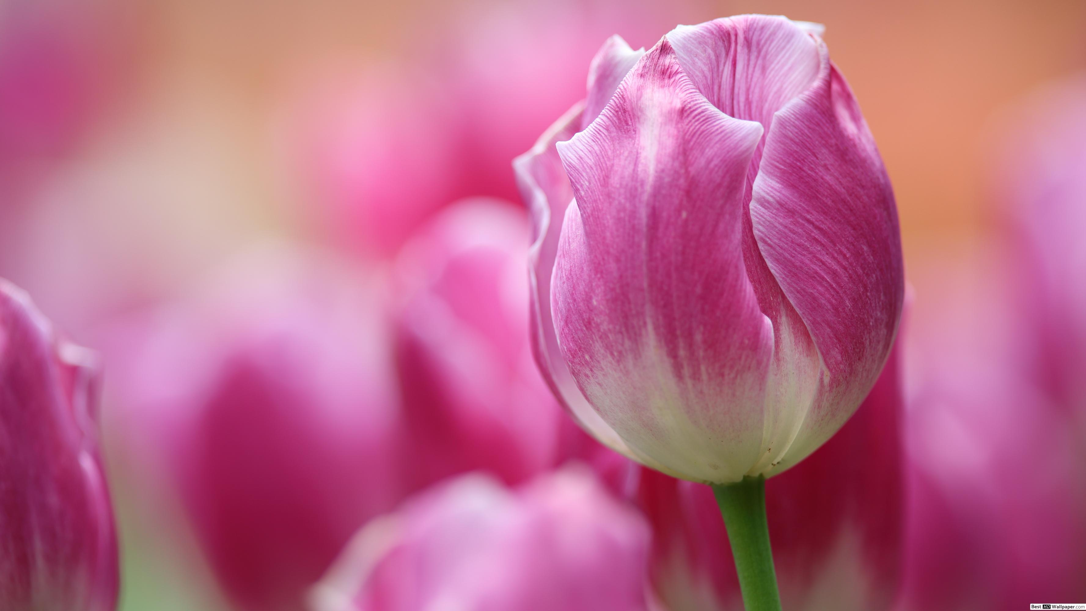 Windows 10 Hintergrundbild Tulpen - HD Wallpaper