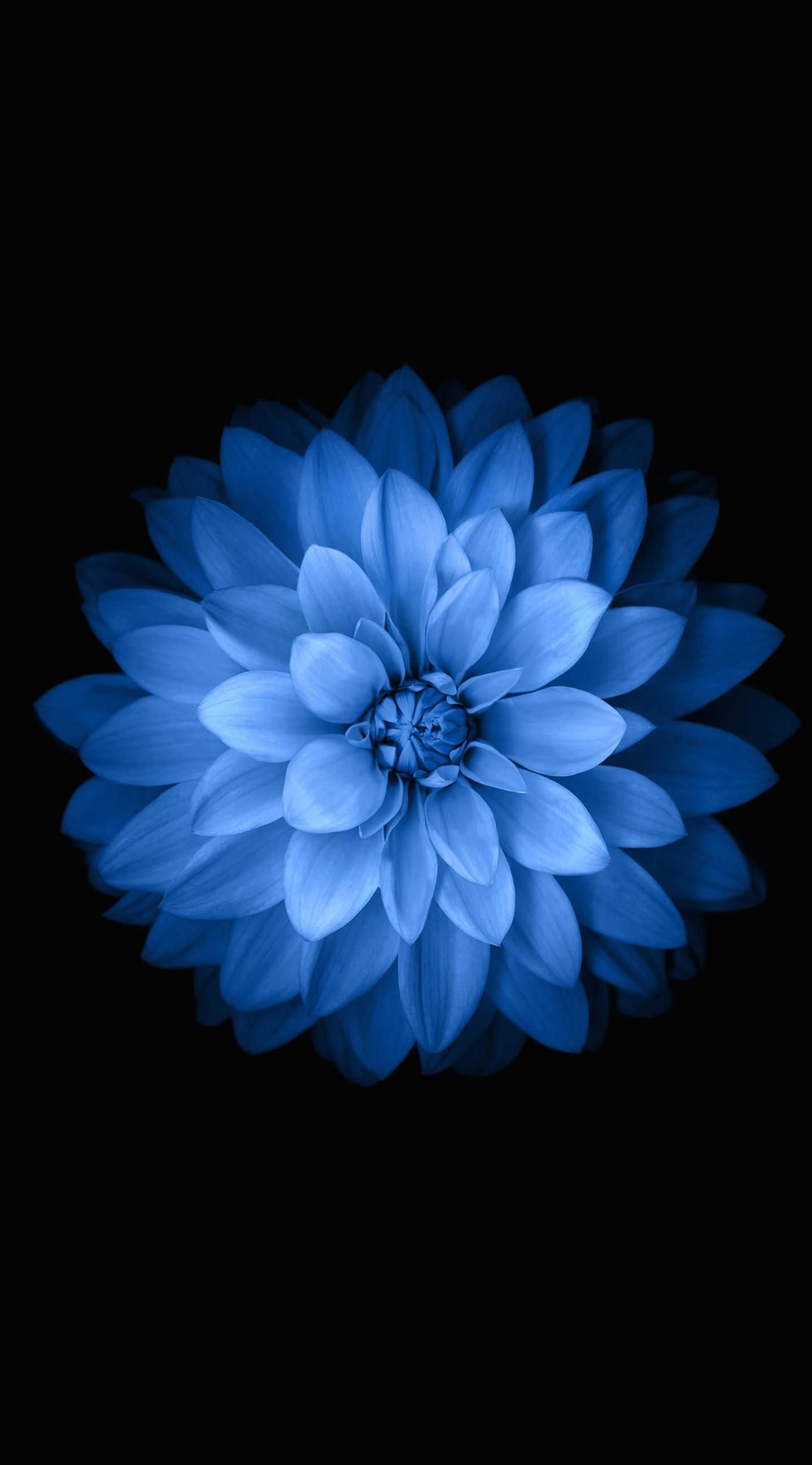 Iphone 6 Flower Wallpapers Hd Blue Iphone Wallpaper Iphone 6s Wallpaper Flower 1438x2592 Wallpaper Teahub Io
