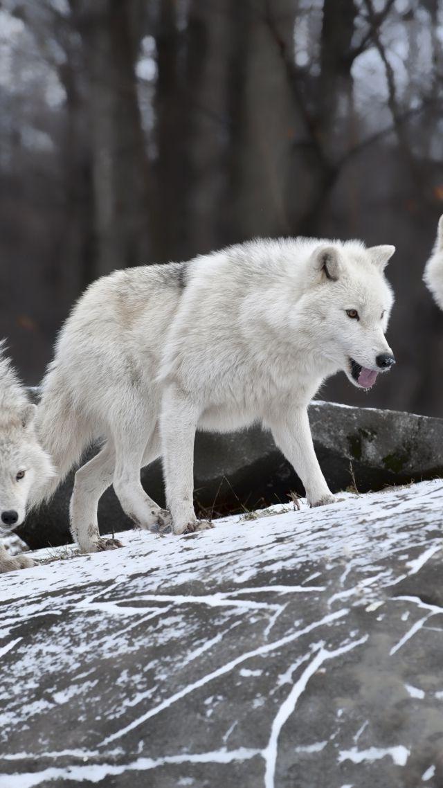 Wolf Forest Snow Cute Animals Ultra Hd Wolf Wallpaper 4k 640x1138 Wallpaper Teahub Io