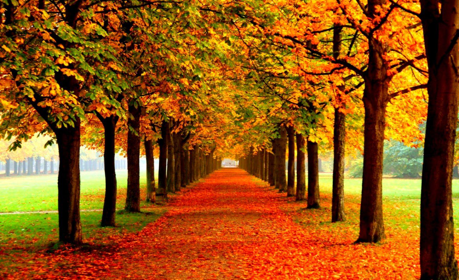 Autumn Leaves Wallpaper Autumn Leaf Hd Desktop Wallpaper Nami Island In August 1520x930 Wallpaper Teahub Io