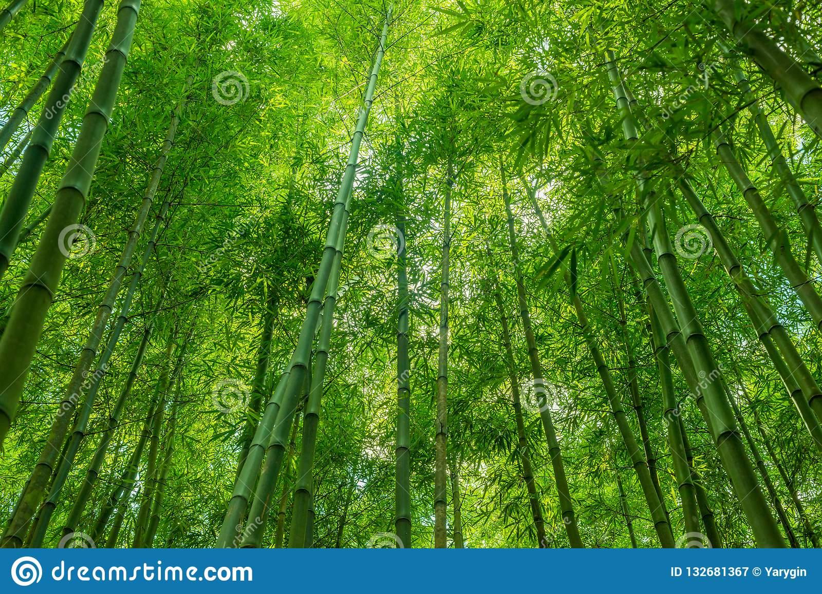 Bamboo Forest Wallpaper - Bamboo Green Nature Background - HD Wallpaper
