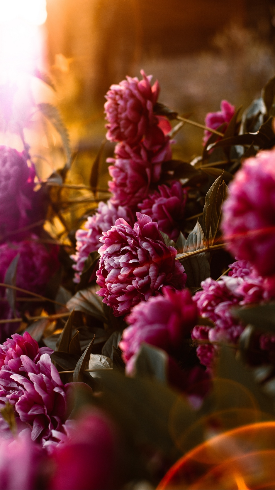 Wallpaper Peonies Flowers Pink Sunlight Flare Dark Colored Iphone Wallpaper Flowers 938x1668 Wallpaper Teahub Io