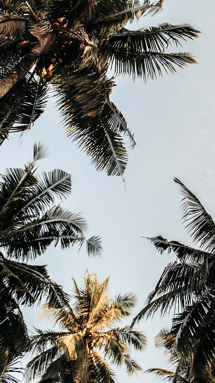 Palm Tree Iphone Wallpaper Collection By Www - Palm Tree Wallpaper Iphone - HD Wallpaper