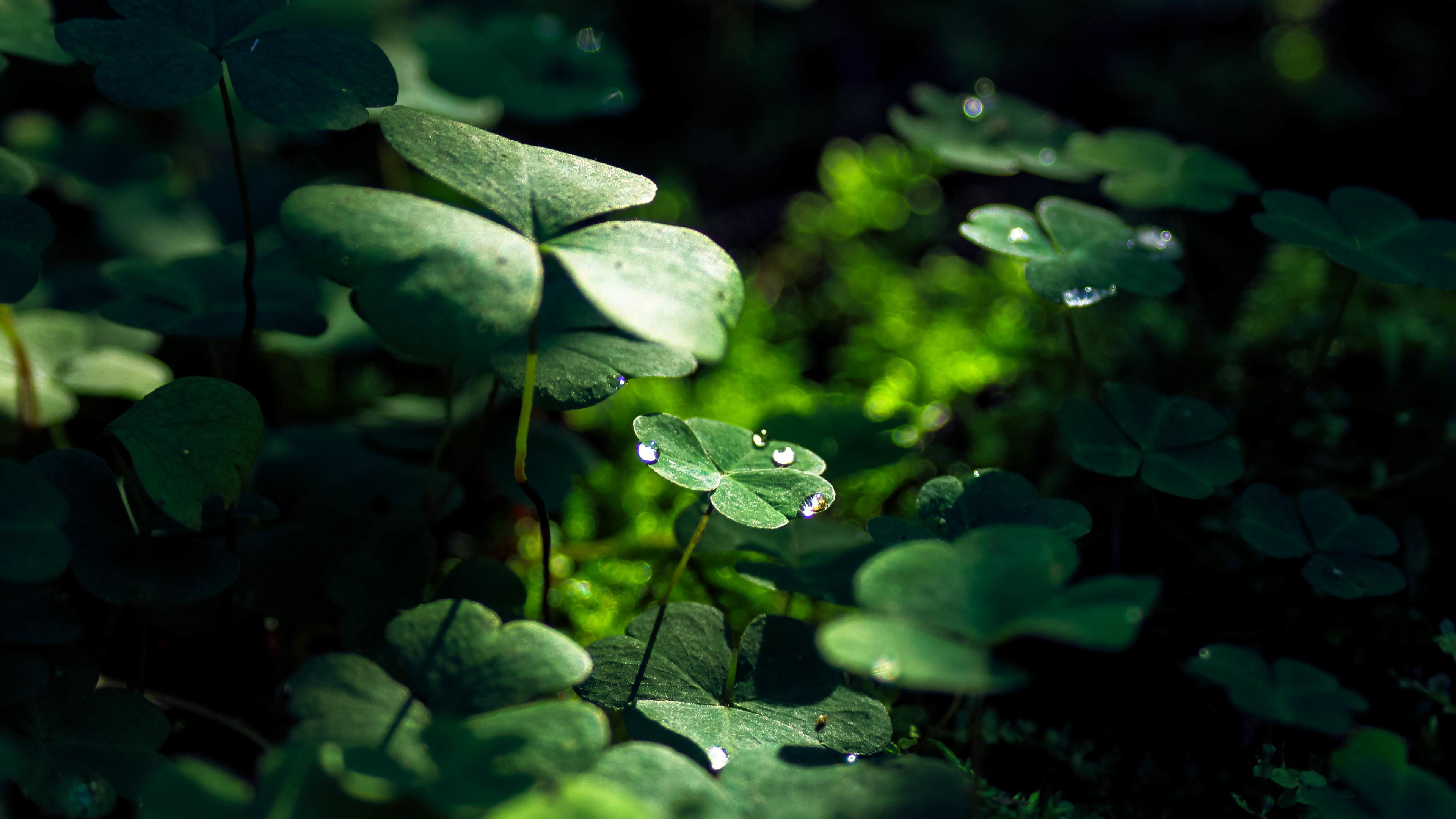 Green Leaf Macro Nature Grass Water Drop 4k Iphone Four Leaf Clover 3840x2160 Wallpaper Teahub Io