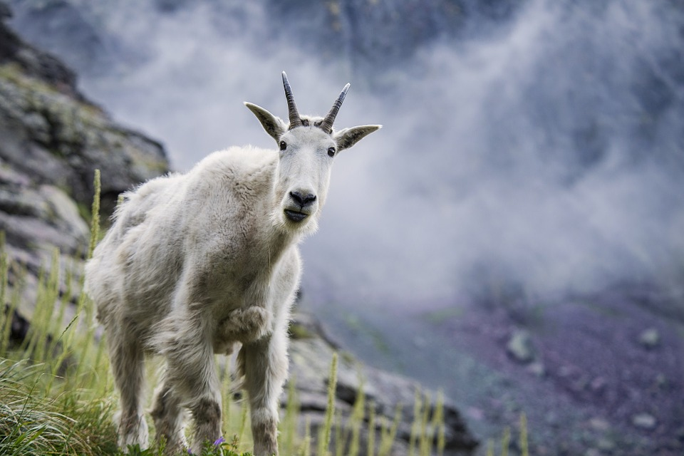 Mountain Goat Hd Wallpapers Desktop Wallpaper 960x640 Wallpaper Teahub Io