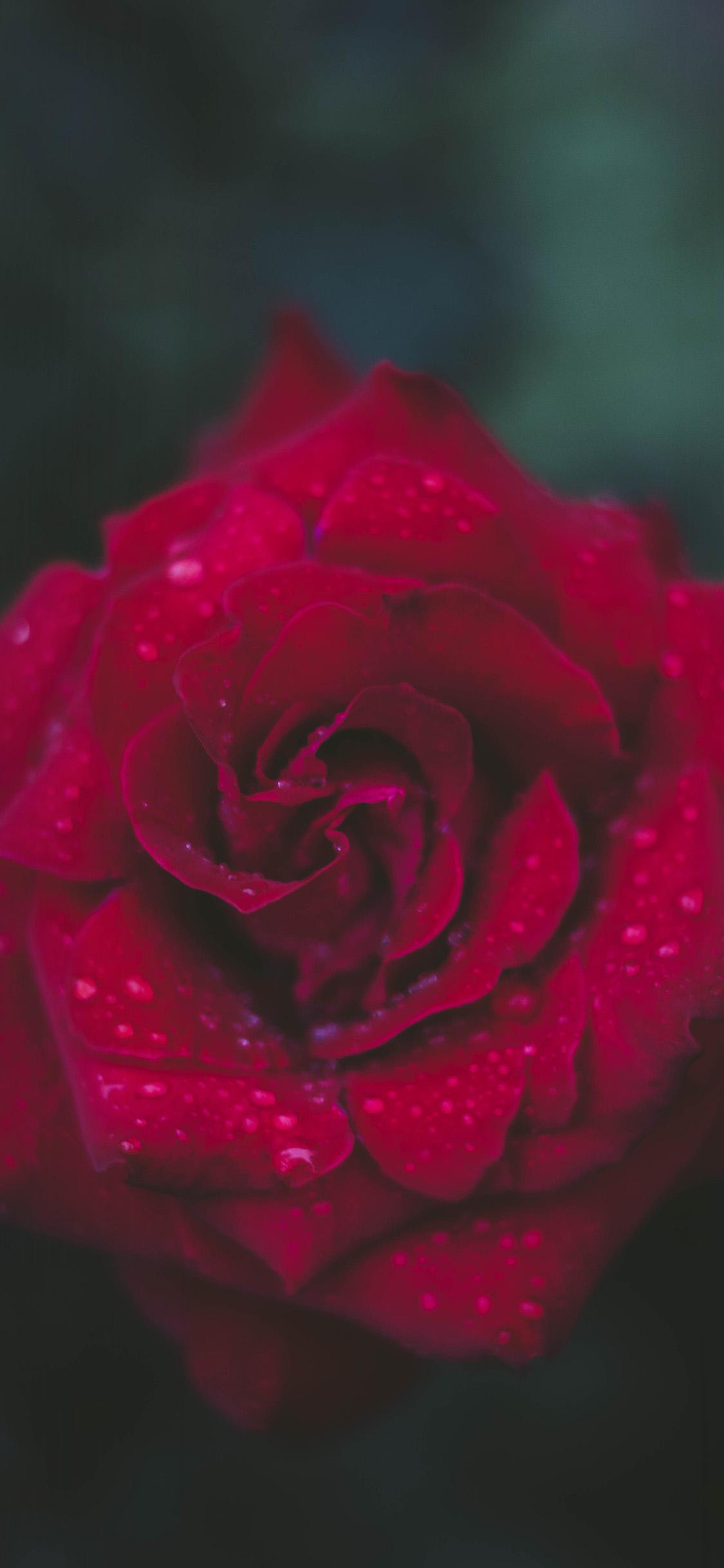 Roses Wallpaper Iphone 7 Plus - HD Wallpaper