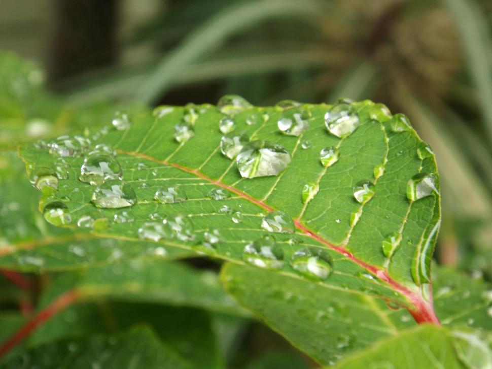 Water Bubble On Leaf Wallpaper,water Hd Wallpaper,bubble - Water Bubbles On Leaf - HD Wallpaper