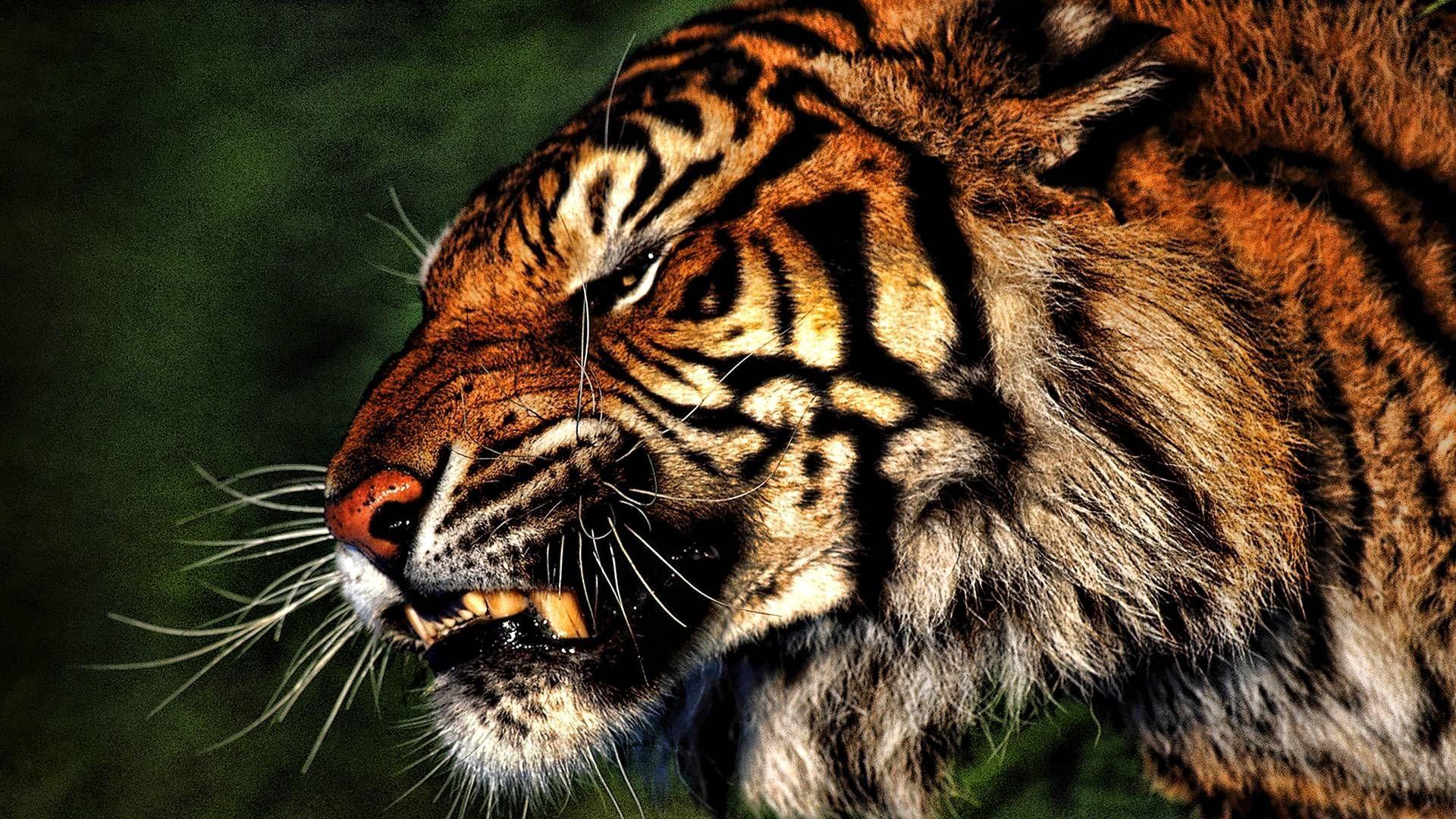 1920x1080 Tiger Wallpaper Hd 1920a 1080 Tiger Wallpapers Tiger Animal Wallpaper Hd 1920x1080 Wallpaper Teahub Io