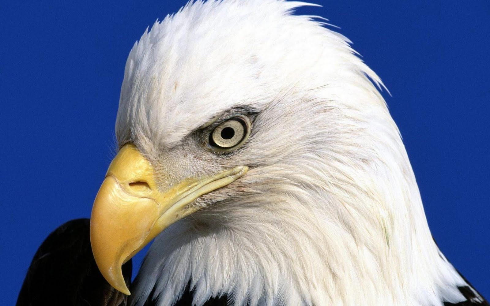 Desktop Eagle Wallpaper For Mobile   Voice Of God Recordings ...