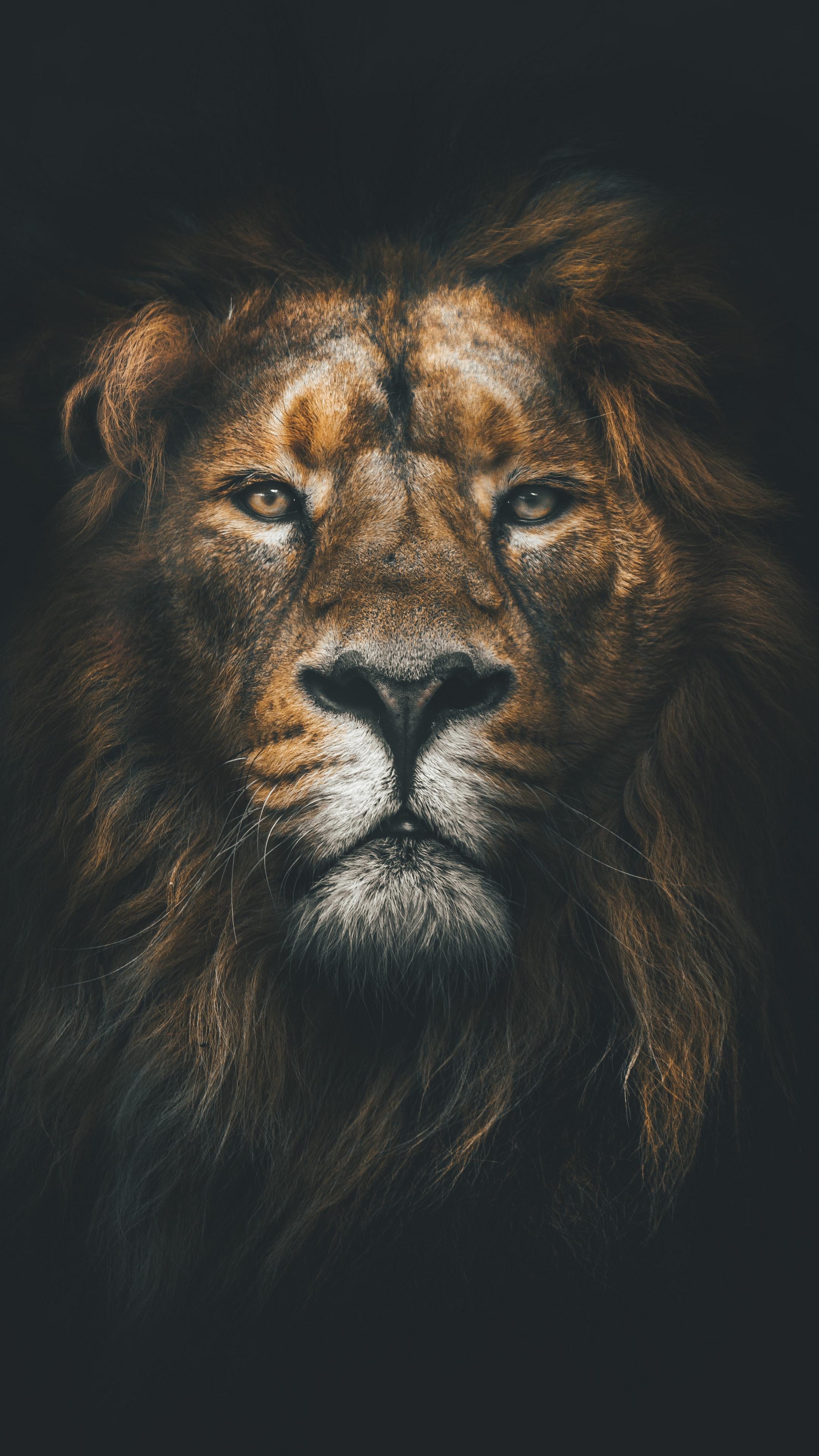 Wallpaper Lion, Muzzle, Mane, Loок, Predator - Iphone 7 Wallpaper Lion - HD Wallpaper
