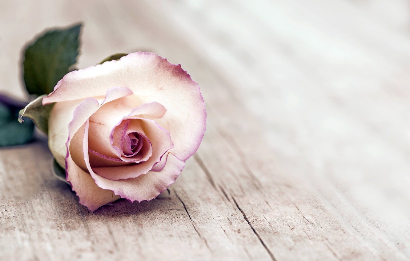 Photo Wallpaper Rose, Rose, Wood, Flowers - Thinking About The Meaning Of Life - HD Wallpaper