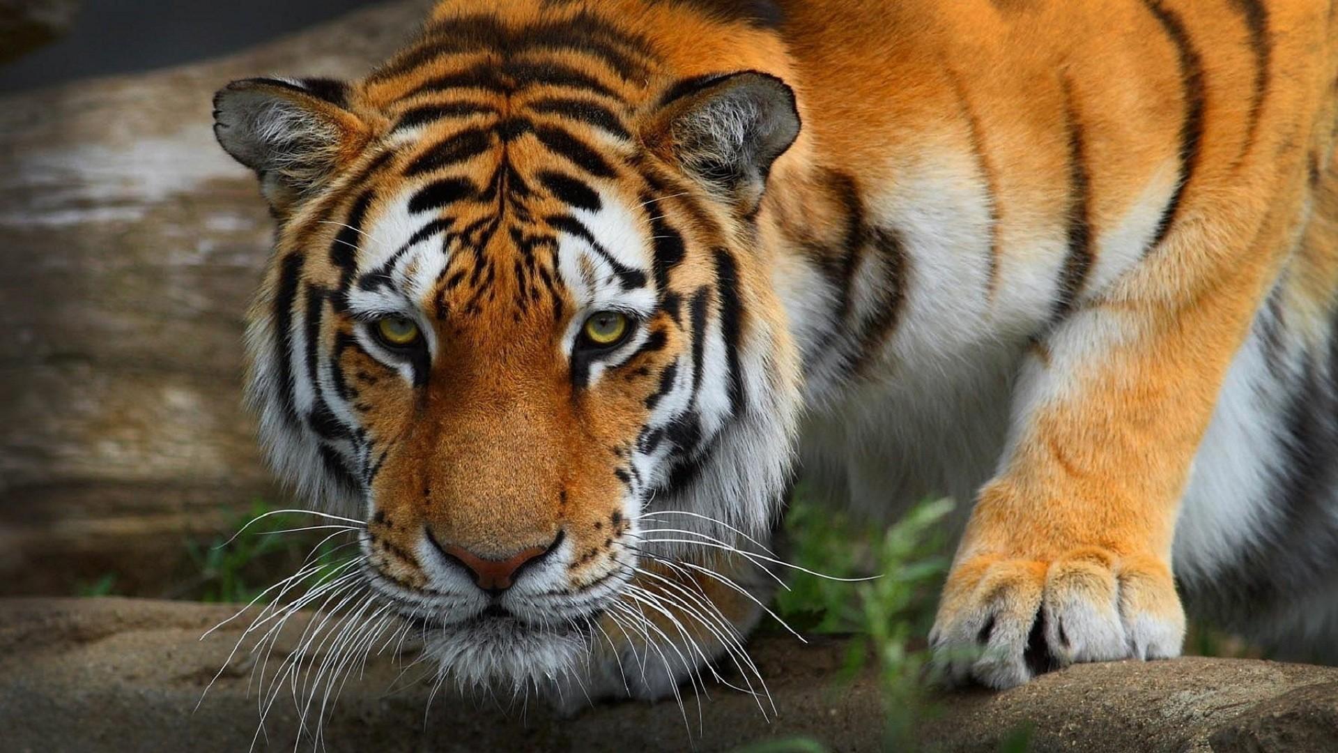 0 Tiger Wallpaper Full Hd Tiger Wallpaper Full Hd Granby Zoo 1920x1080 Wallpaper Teahub Io