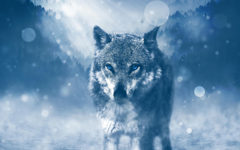 Wild Wolf 4k Data Src Wolf Wallpaper 4k 2880x1800 Wallpaper Teahub Io