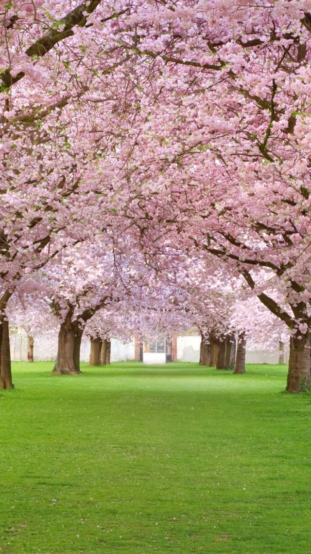 Trees, 4k, Hd Wallpaper, Blossom, Park, Pink - 4k ...