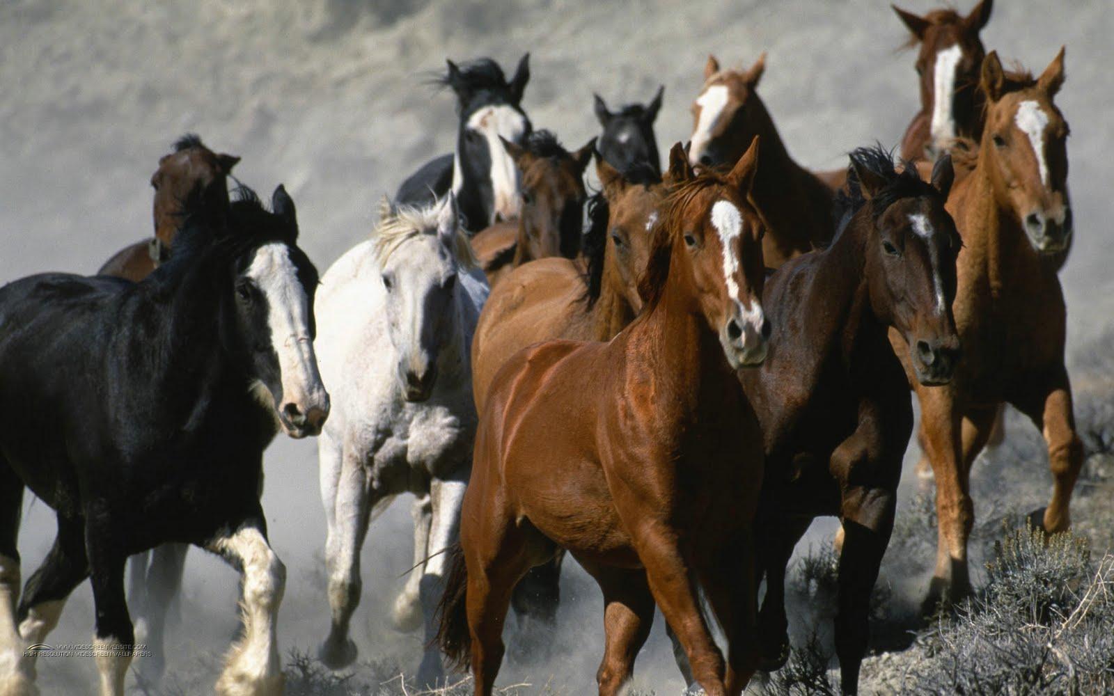 Running Horse Wallpapers White Horses Running Wallpapers Stampede Of Mustang Horses 1600x1000 Wallpaper Teahub Io