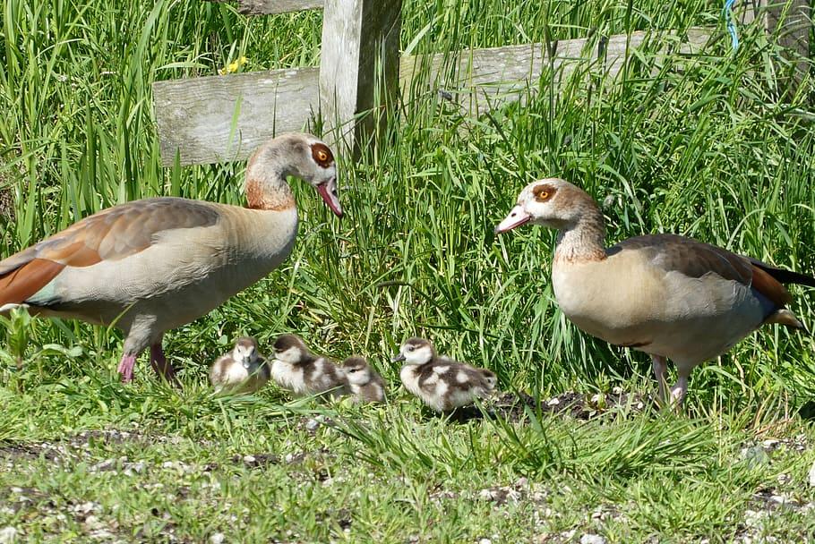 Nile Goose, Fledglings, Boy, Birds, Nature, Animal - Duck - HD Wallpaper