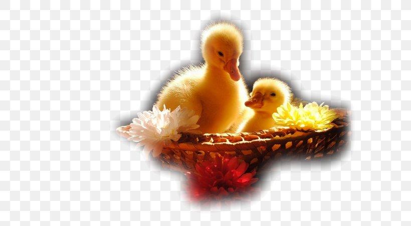 Ducklings Desktop Wallpaper Cute Animals, Png, 600x450px, - HD Wallpaper