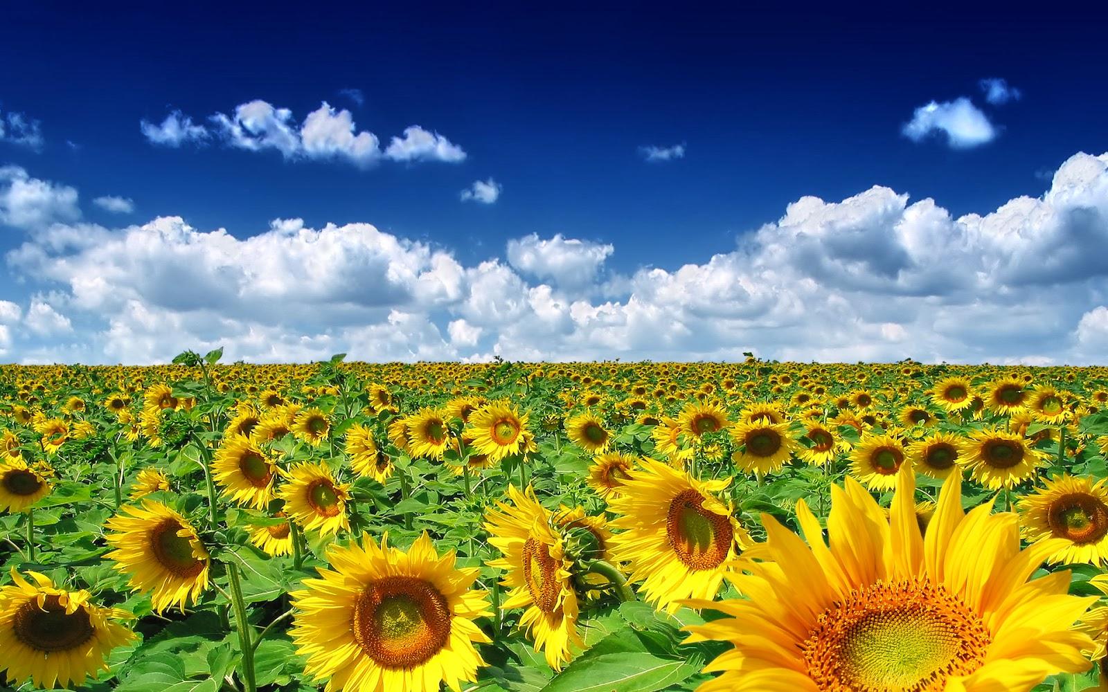 Desktop Background Sunflowers - HD Wallpaper