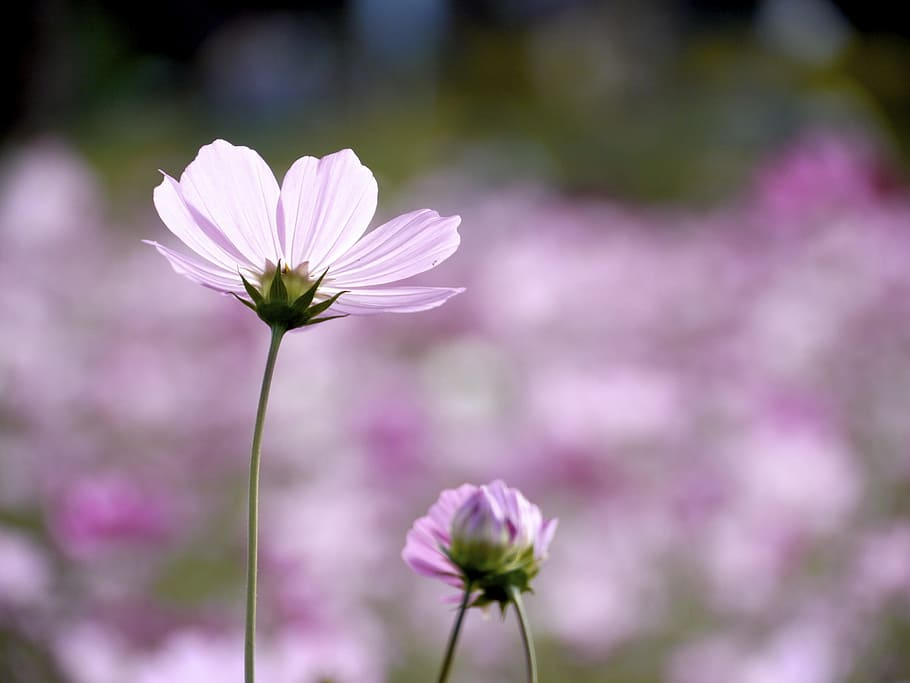 Pink Cosmos Flowers, One Flower, Flowering Plant, Freshness, - Jesus Loves You And Cares - HD Wallpaper