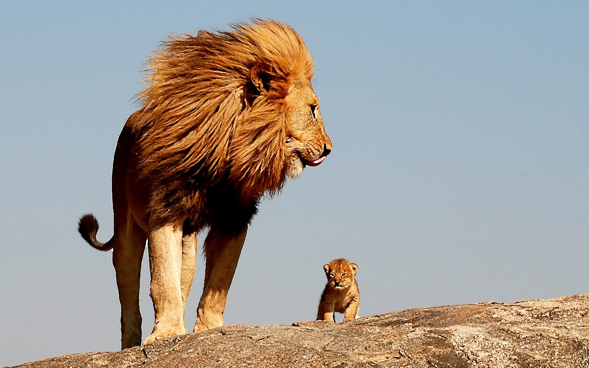 African Lion Wallpapers Hd Hd Wallpapers Desktop Images - African Lion With Baby - HD Wallpaper