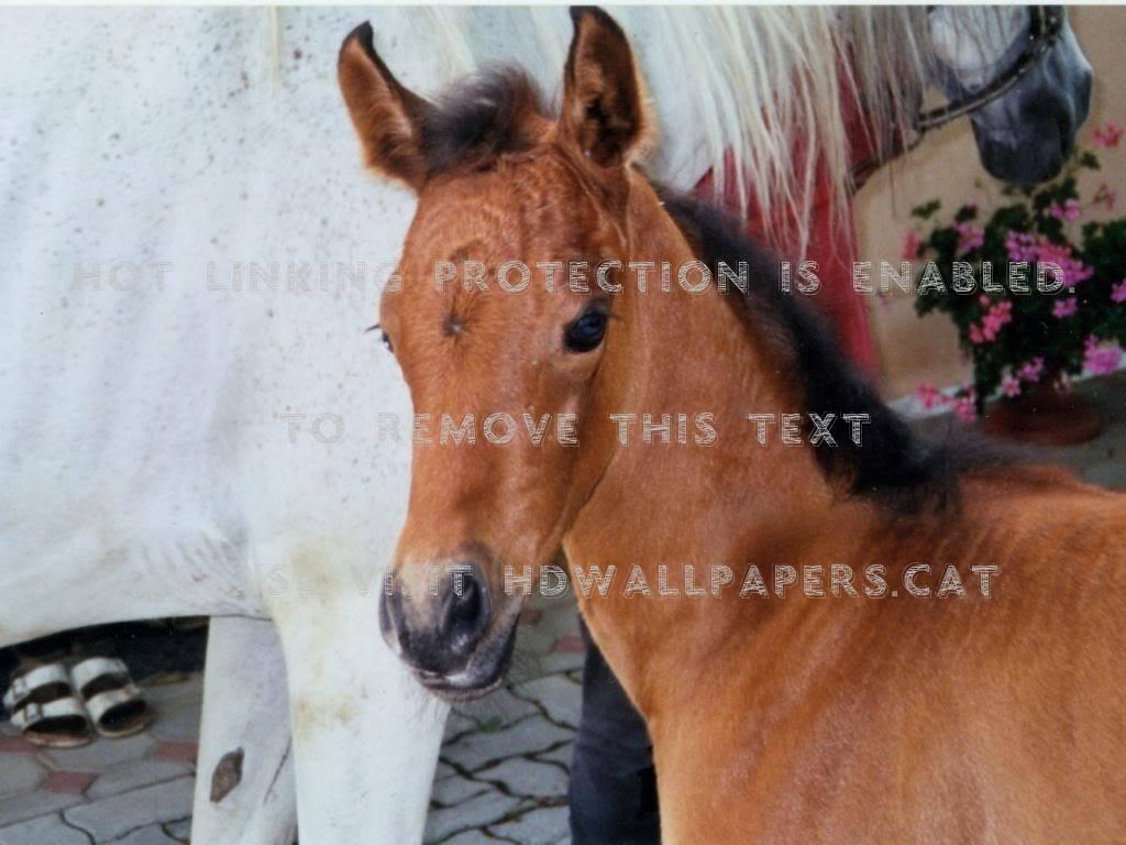 The Brown Baby Horse Nature White Arabians Baby Horses Brown And White 1024x768 Wallpaper Teahub Io