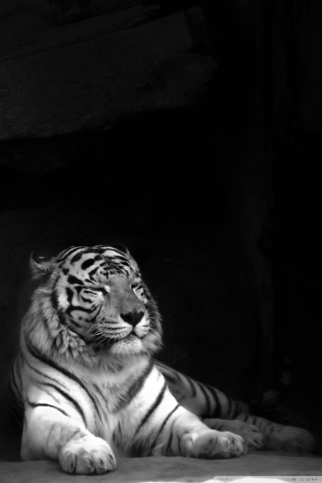 Black Tiger 640x960 Wallpaper Teahub Io