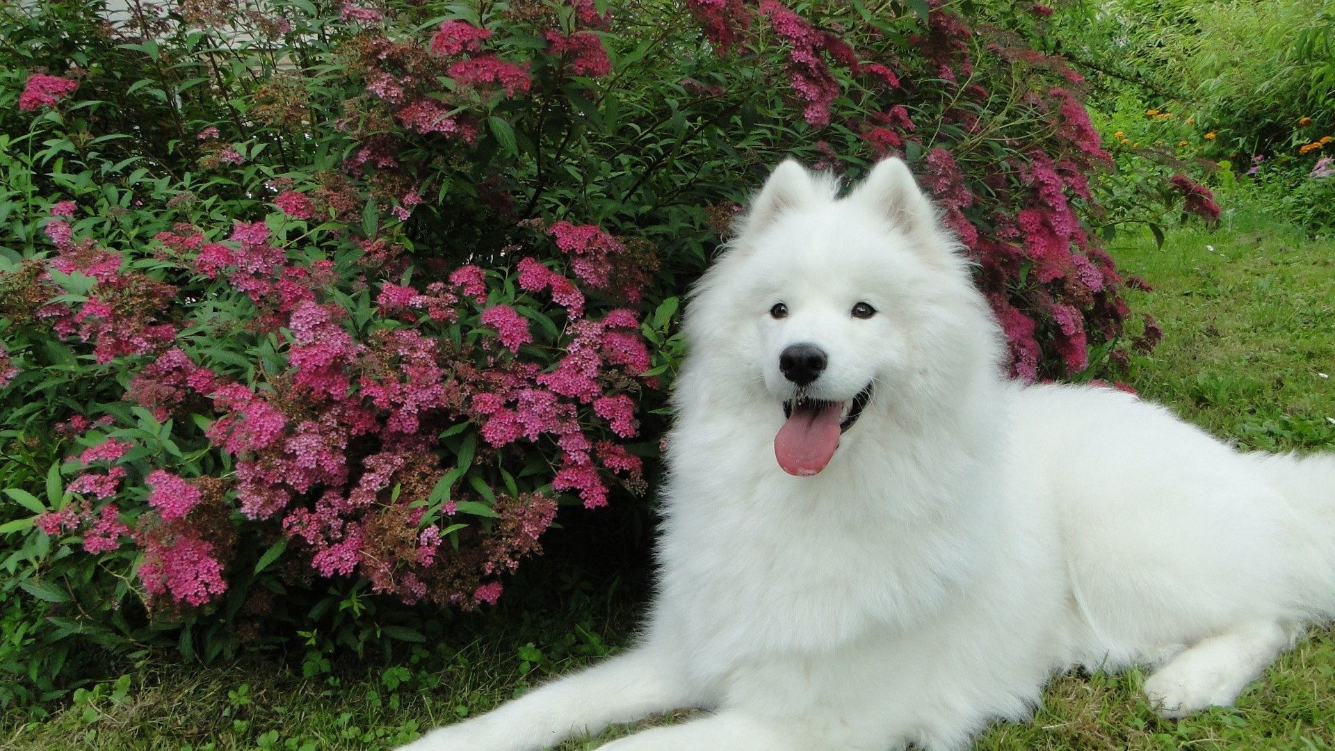Samoyed Tag Aesthetic Samoyed 1920x1080 Wallpaper Teahub Io