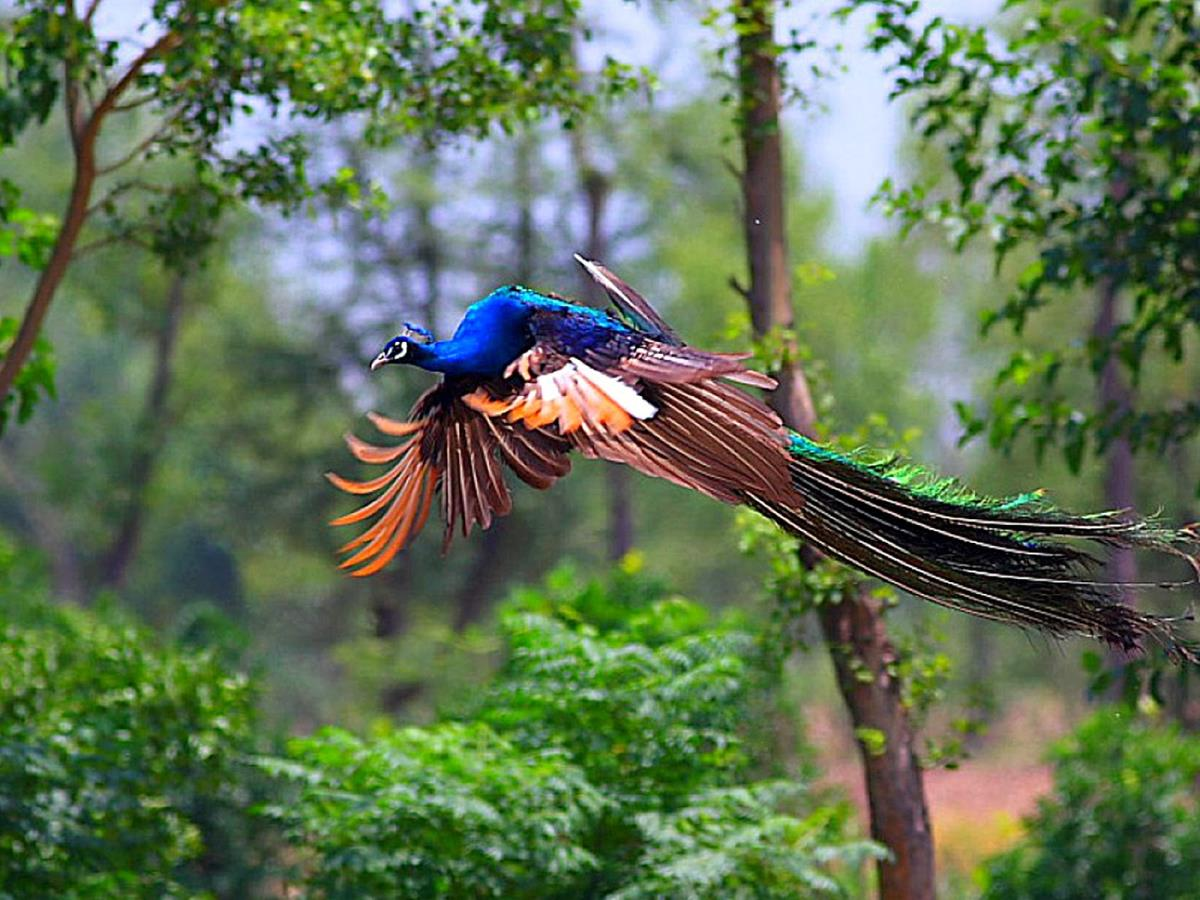 1080p Peacock Wallpaper Hd 1200x900 Wallpaper Teahub Io