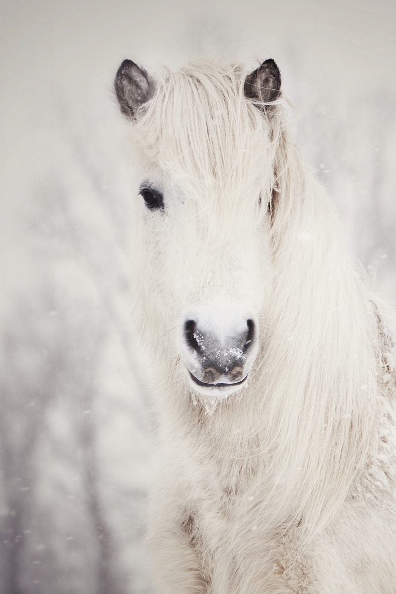 Wallpaper Snowy White Horse Snow White Horse Wallpaper Iphone 800x1200 Wallpaper Teahub Io