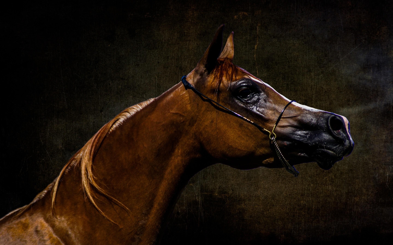2880x1800 Arabian Horse Wallpaper Full Hd Arabian Arabian Horse 2880x1800 Wallpaper Teahub Io