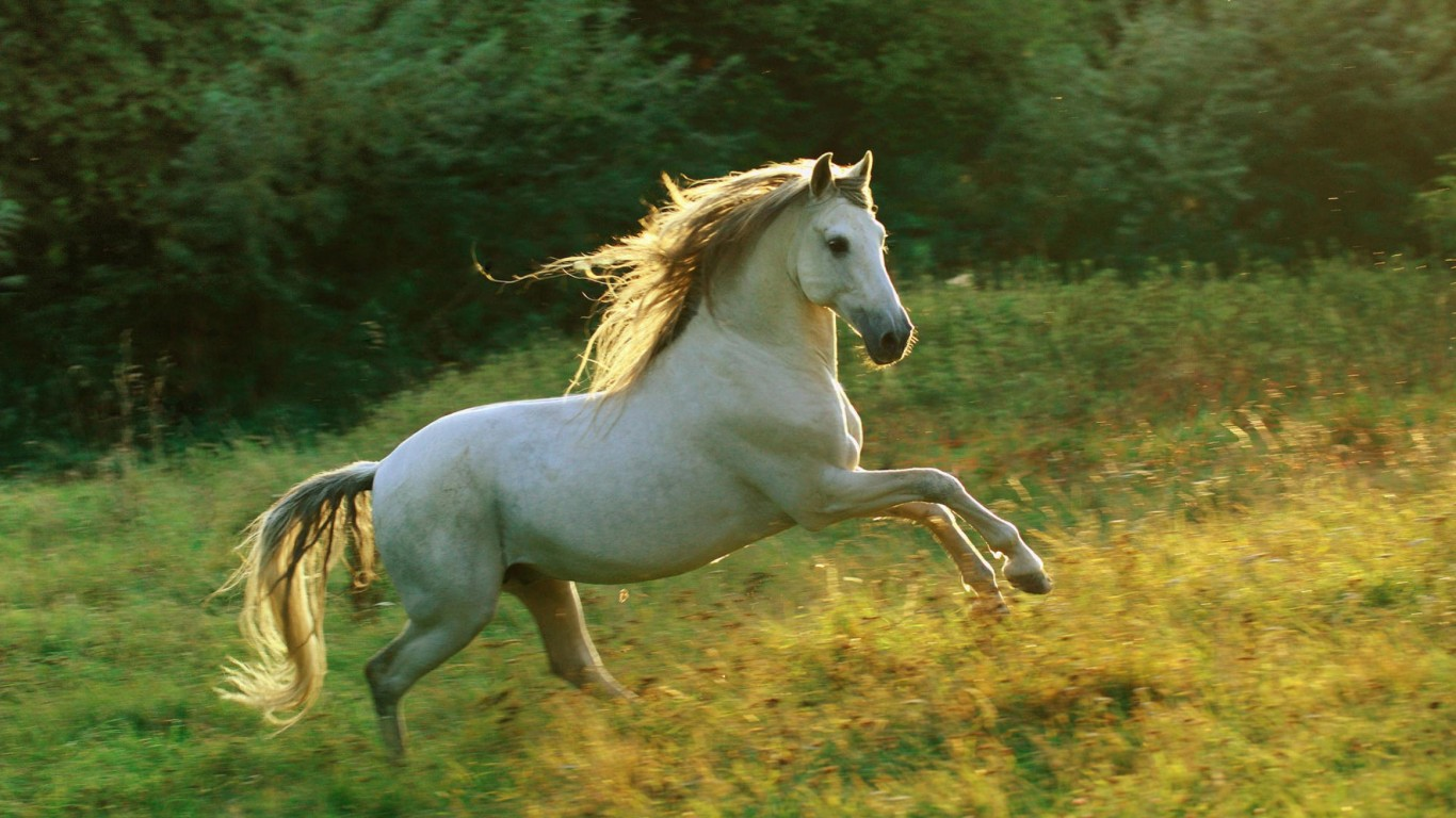 Beautiful Jumping White Horse 1366x768 Wallpaper Teahub Io