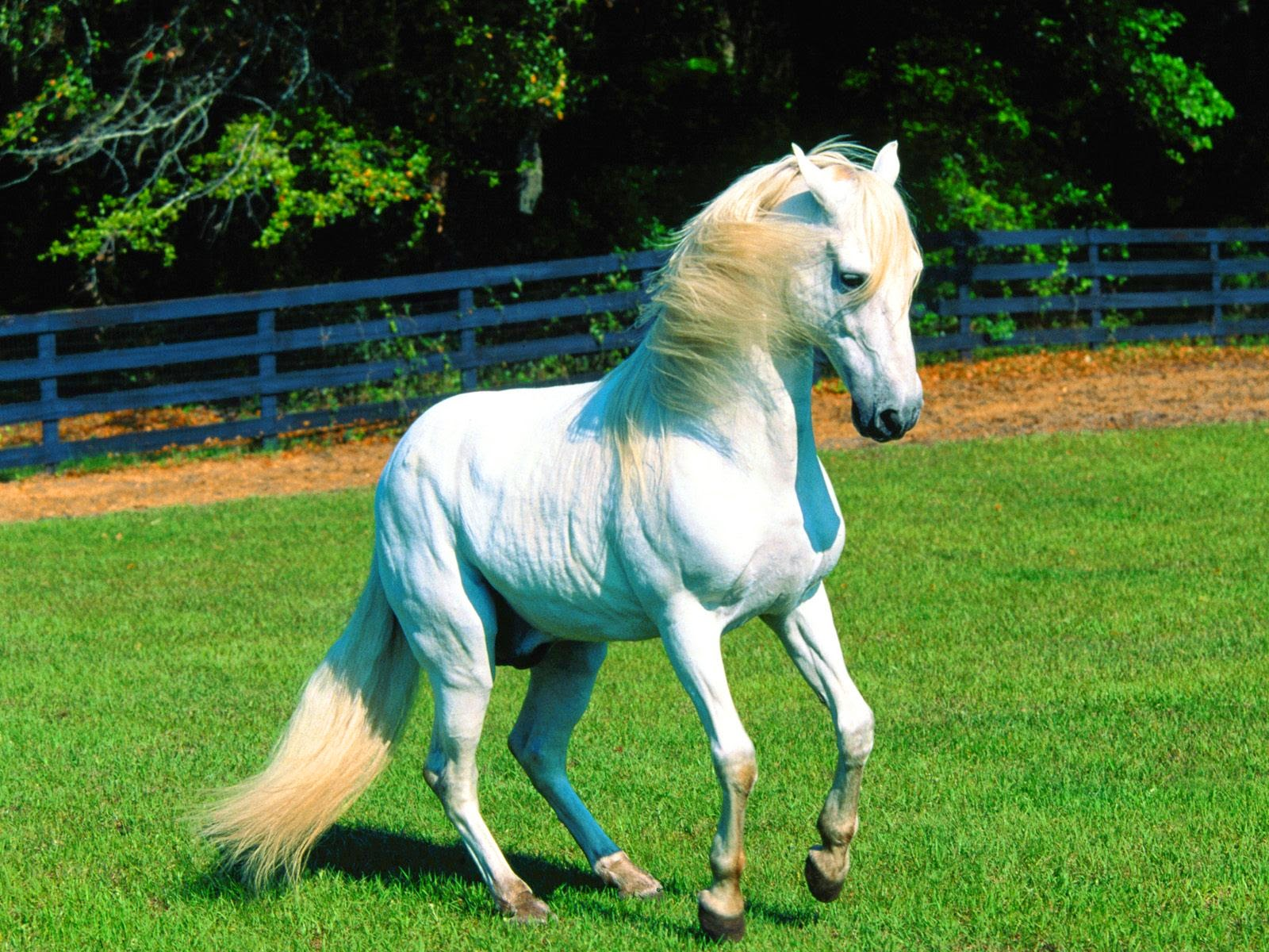 Beautiful Horses Wallpapers Free Download White Horse 1600x1200 Wallpaper Teahub Io