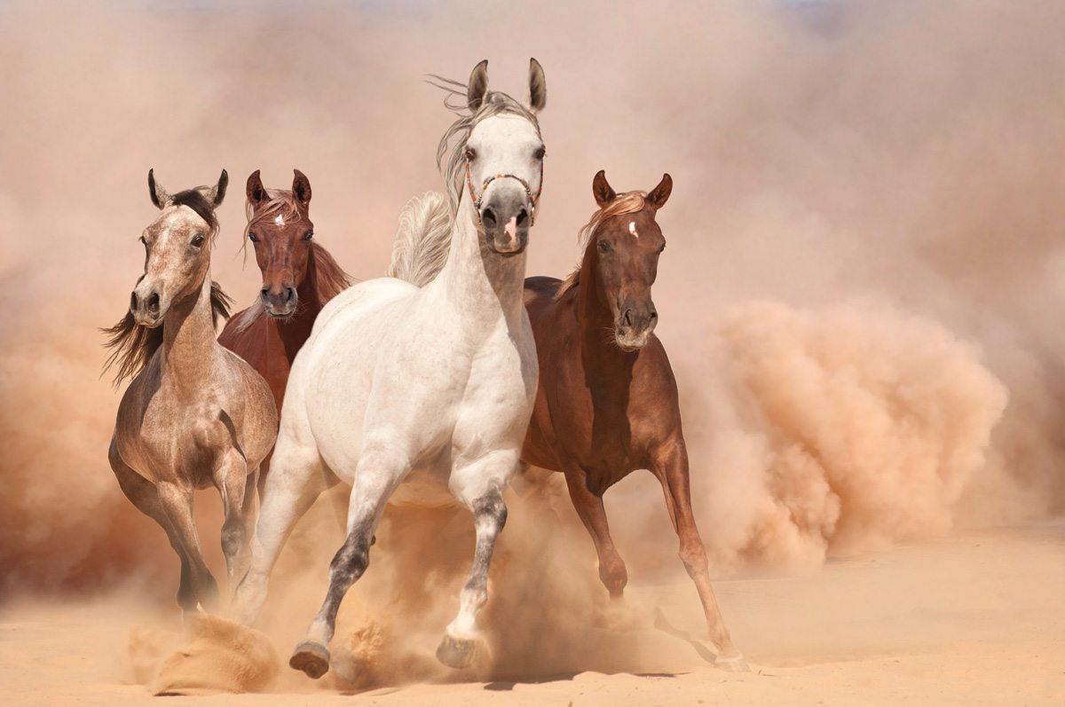 Running Horses Wallpaper Horse Calendar Arabian 2020 1200x797 Wallpaper Teahub Io