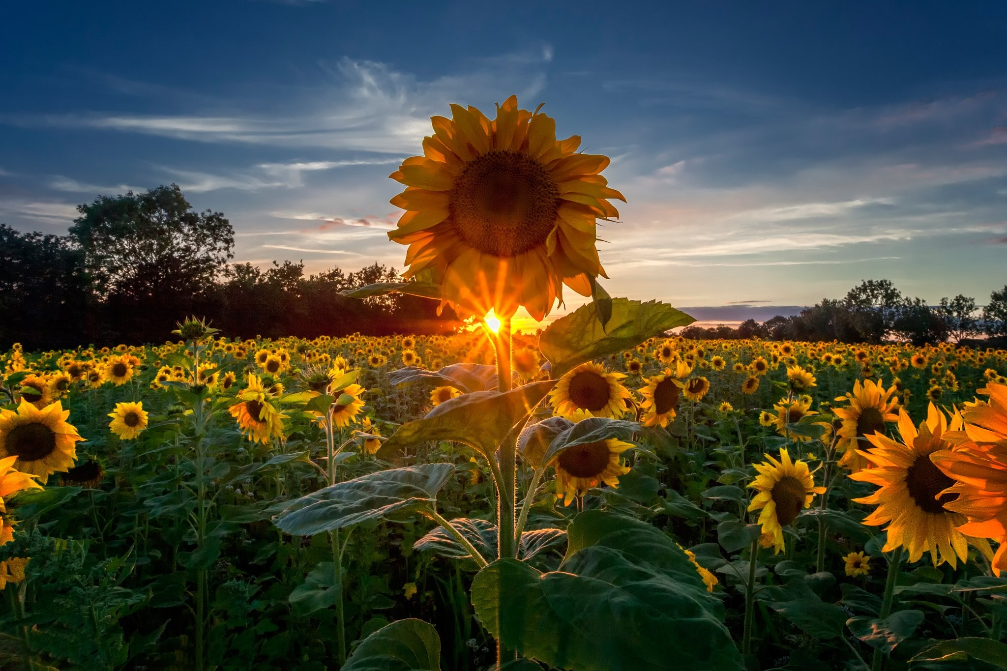 Sunflower Wallpaper Hd Desktop 2048x1365 Wallpaper Teahub Io