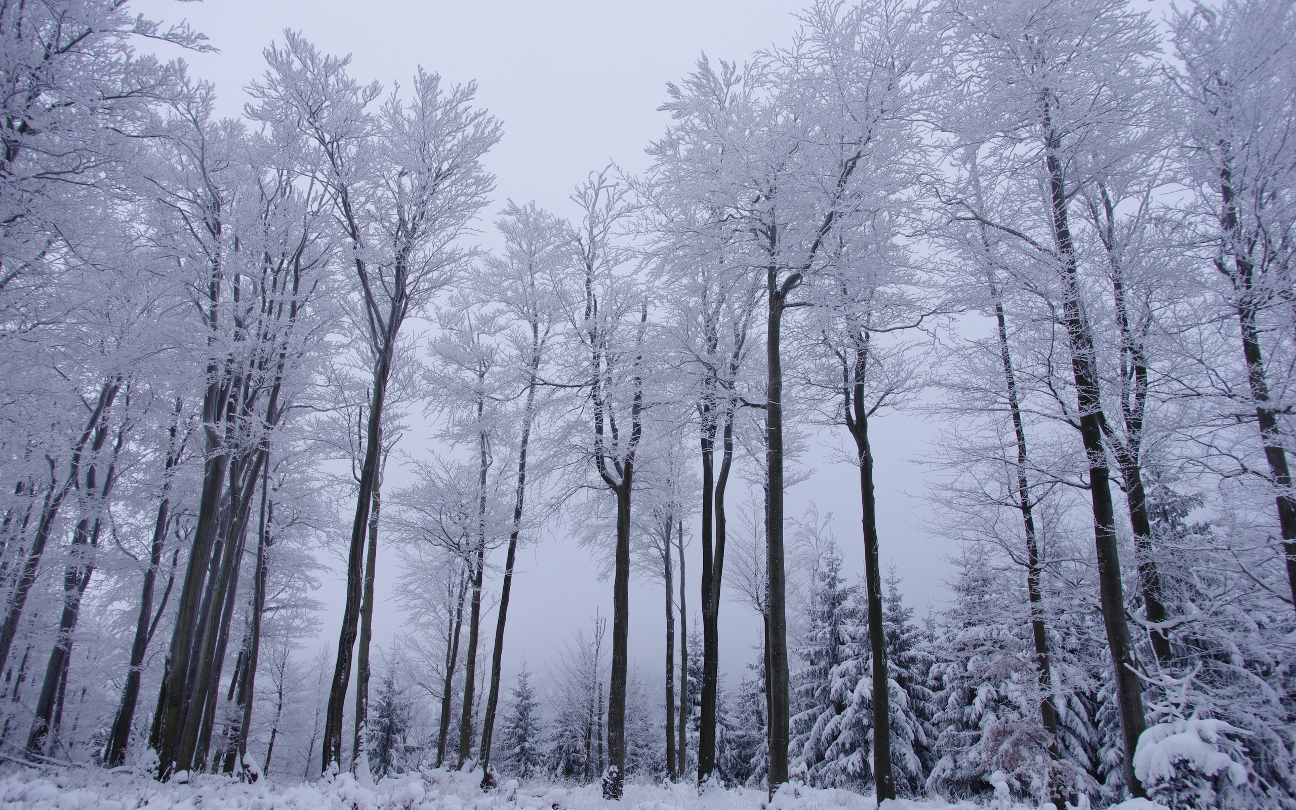 Winter Forest Trees Snow Landscape - Forest Trees In Winter - HD Wallpaper