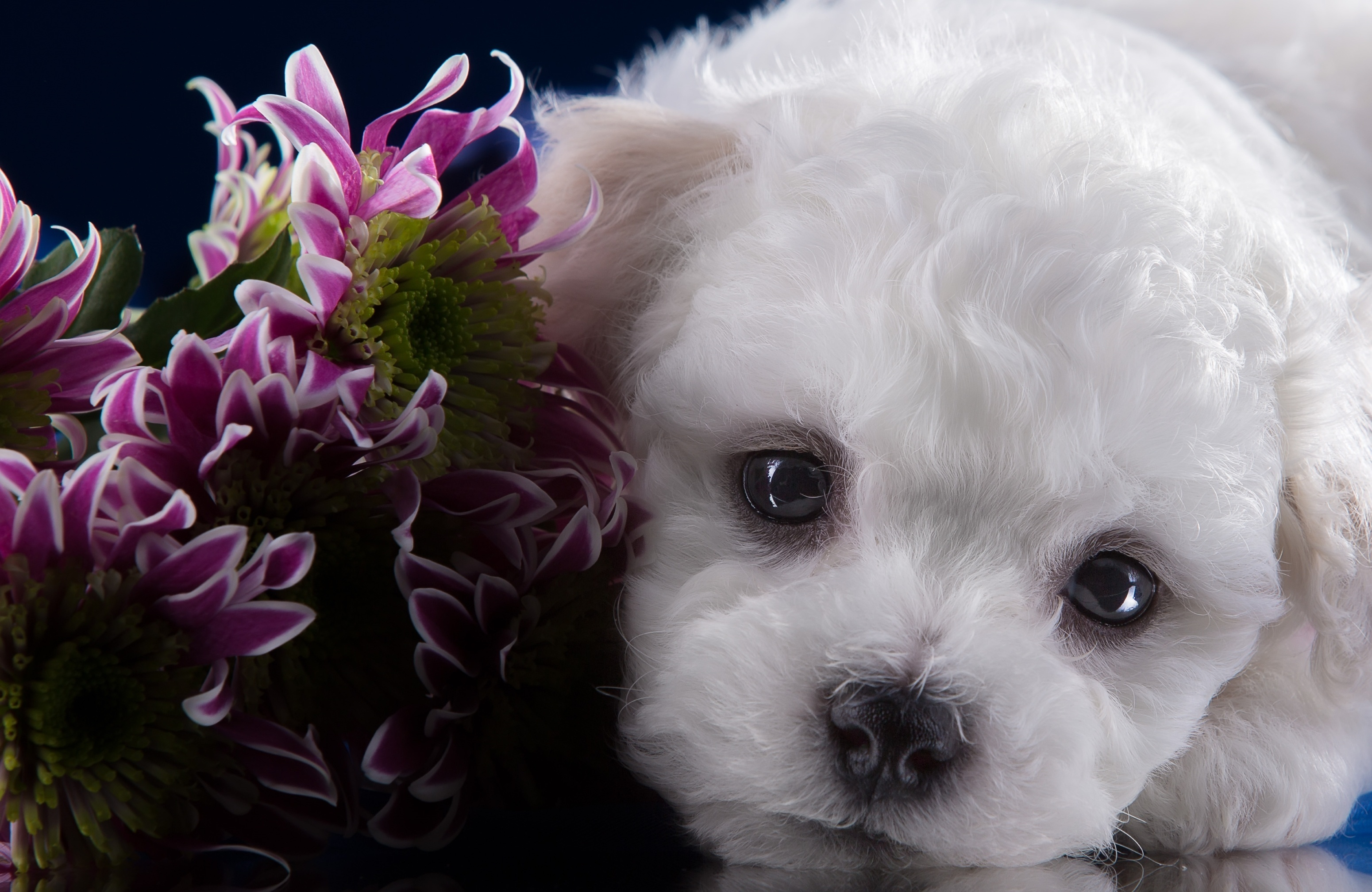 Bichon Frise Puppy Muzzle Portrait Chrysanthemum Otkrytki S Dnem Rozhdeniya S Bishonom 3100x2017 Wallpaper Teahub Io