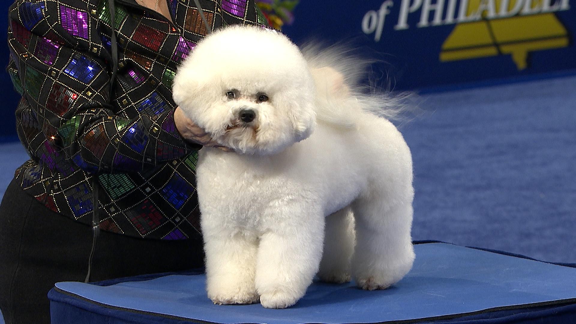National Dog Show 2019 Bichon Frise 1920x1080 Wallpaper Teahub Io