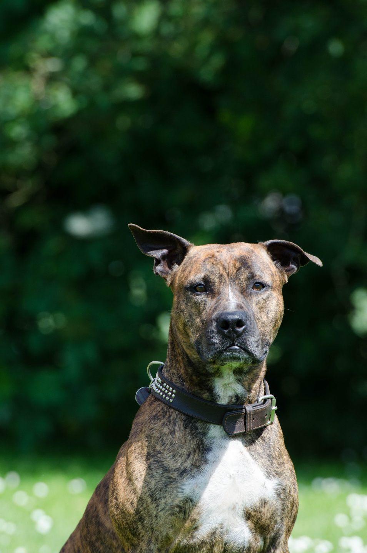 Handsome Burgundy Color Pitbull Dog Wallpaper For Iphone Pitbull Plott Hound Mix Brindle 954x1440 Wallpaper Teahub Io