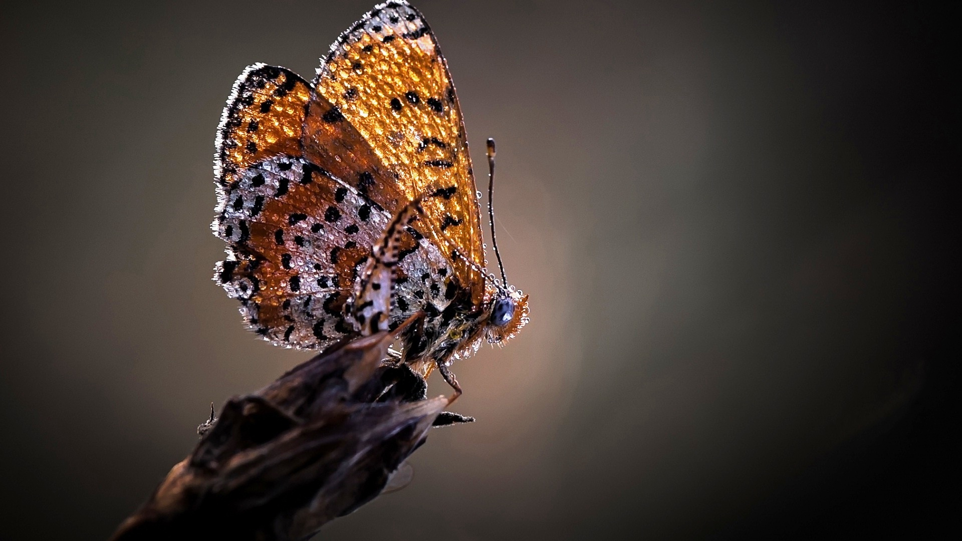 Black Butterfly Superb Wallpapers Wallpaper 1920x1080 Wallpaper Teahub Io