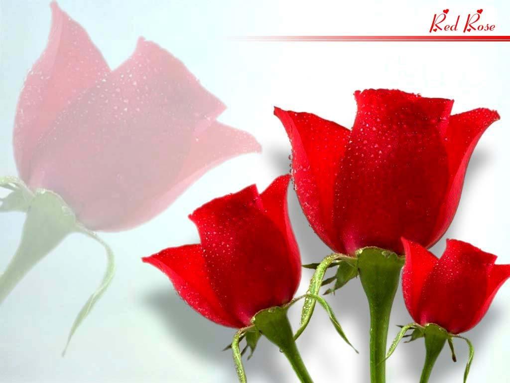 Rose Flower Wallpaper For Mobile Phone - Rose Flowers Wallpaper Download Hd - HD Wallpaper