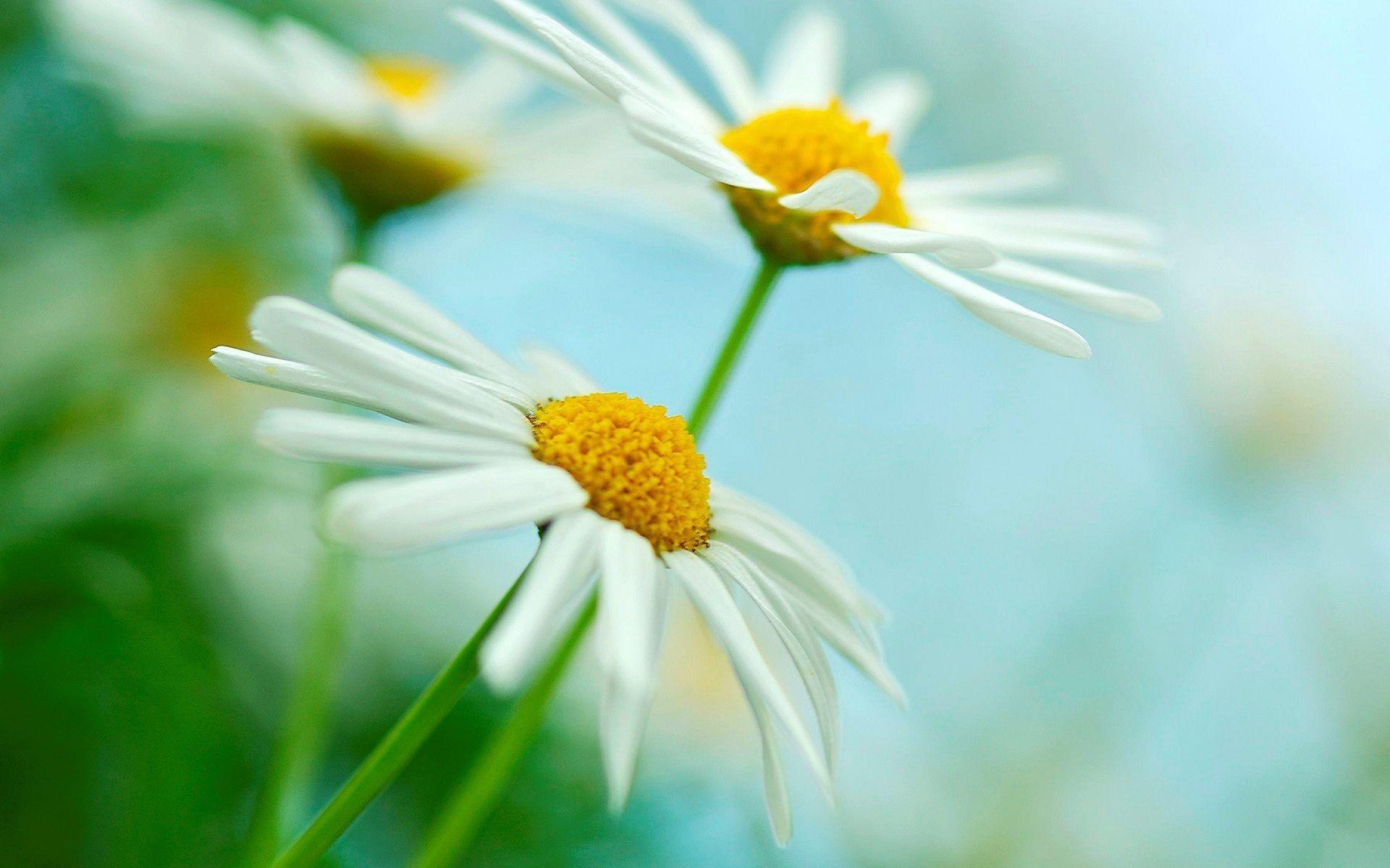 1920x1200, Gerbera Daisies White Flowers Wallpaper - Best Daisies Background - HD Wallpaper