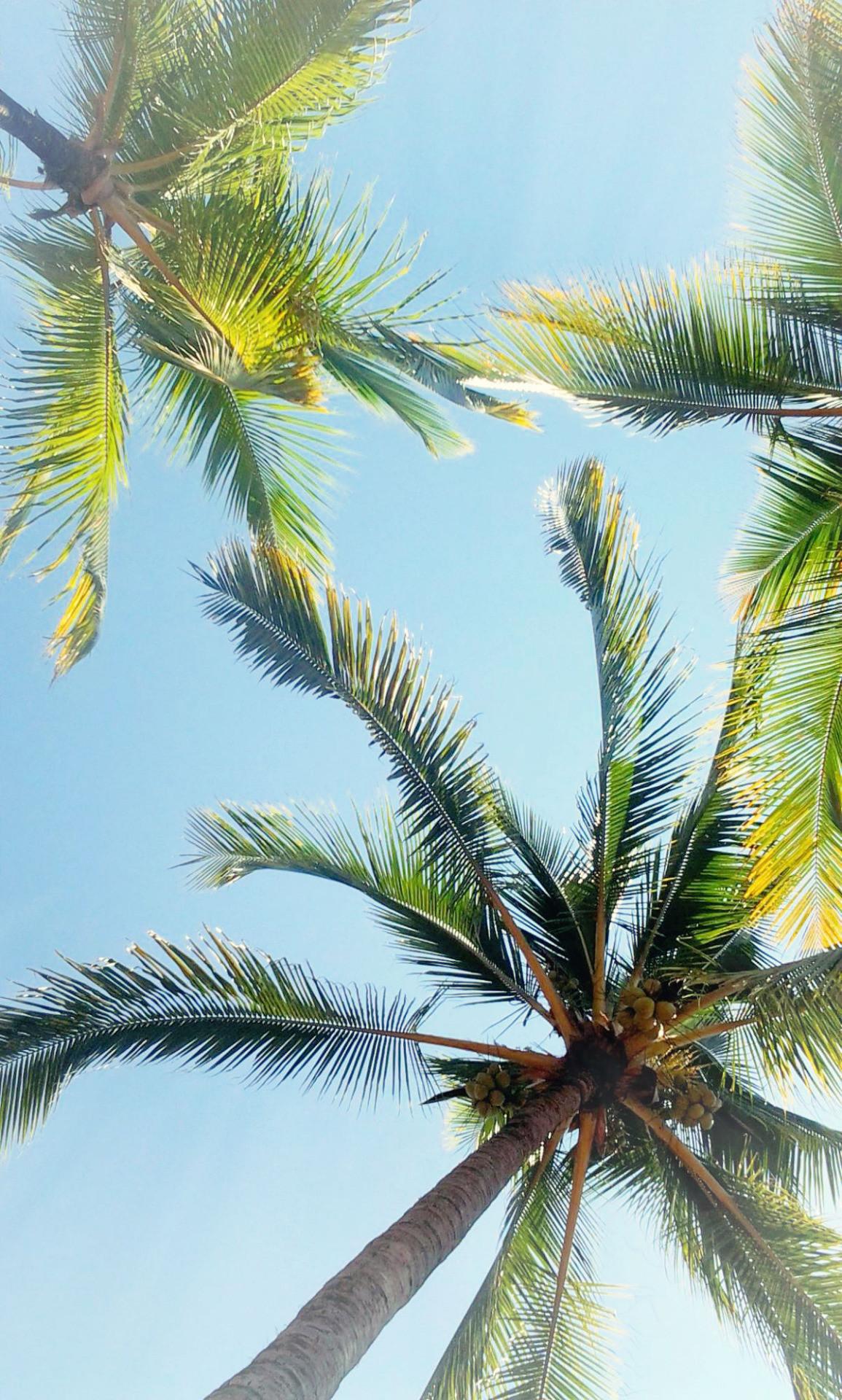 Palm Tree Iphone   Data-src - Iphone Wallpaper Palm Trees - HD Wallpaper